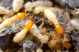 مكافحة النمل الأبيض بالمدينة المنورة